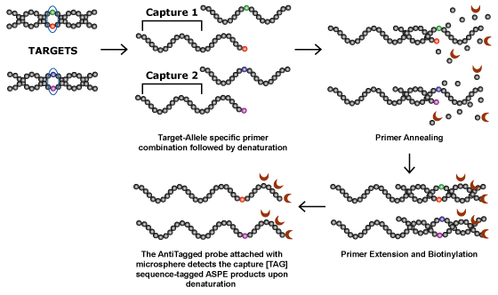Allele Specific Primer Extension Aspe Technology