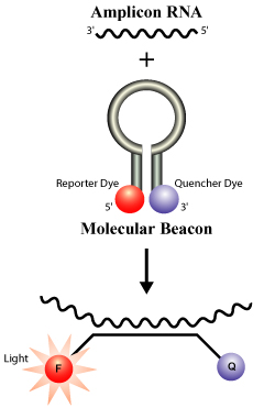 Use of Molecular beacons with NASBA Amplification to generate a real time detection system